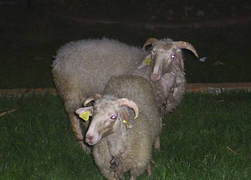 Sheep_grazing_the_petrol_station2